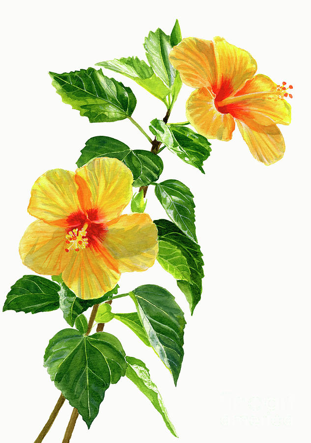 Two Yellow Hibiscus Flowers Painting By Sharon Freeman
