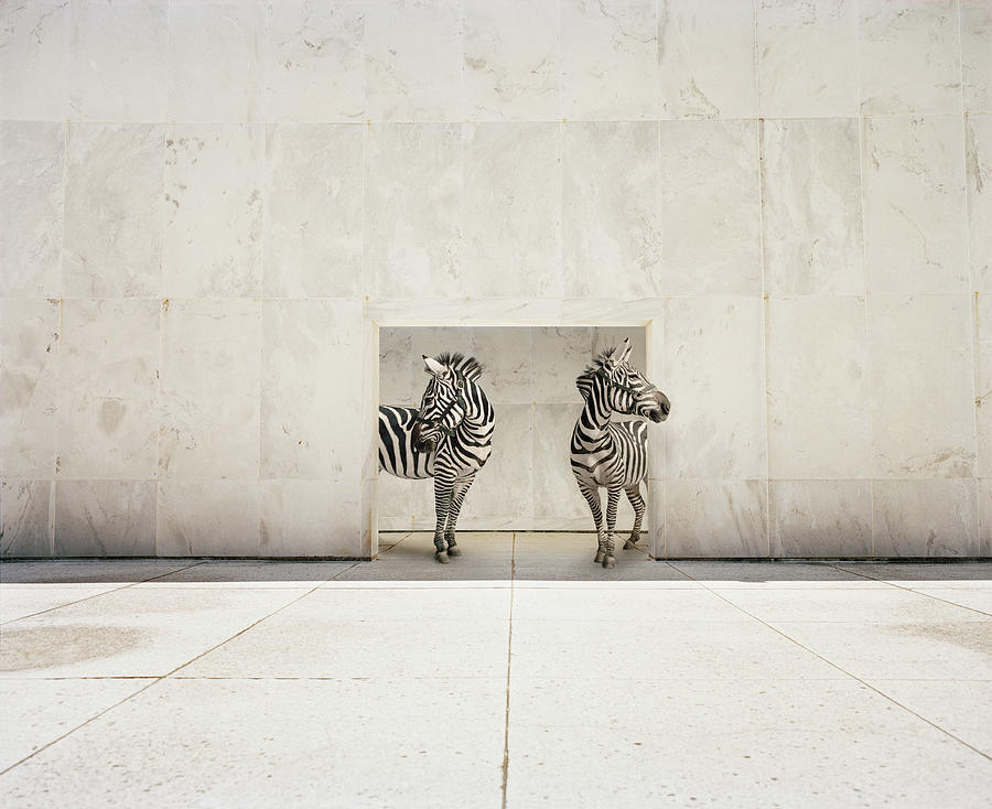 Two Zebras At Doorway Of Large White Photograph by Matthias Clamer