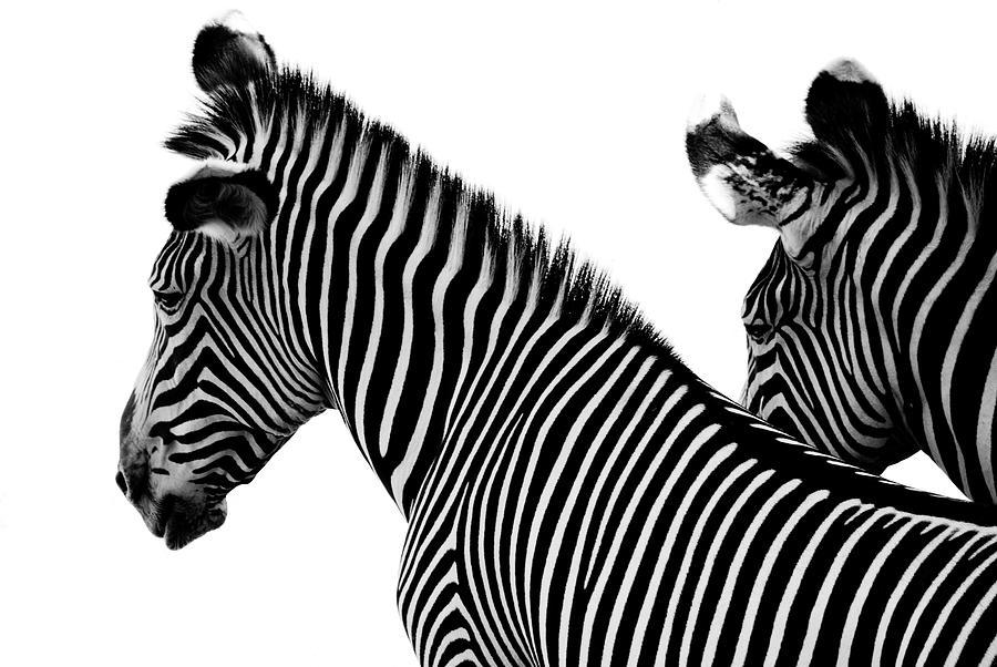 Two Zebras Photograph by Dulancristian