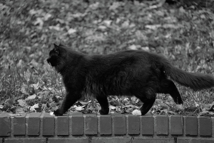 Tybalt walking the wall by Andy Lawless