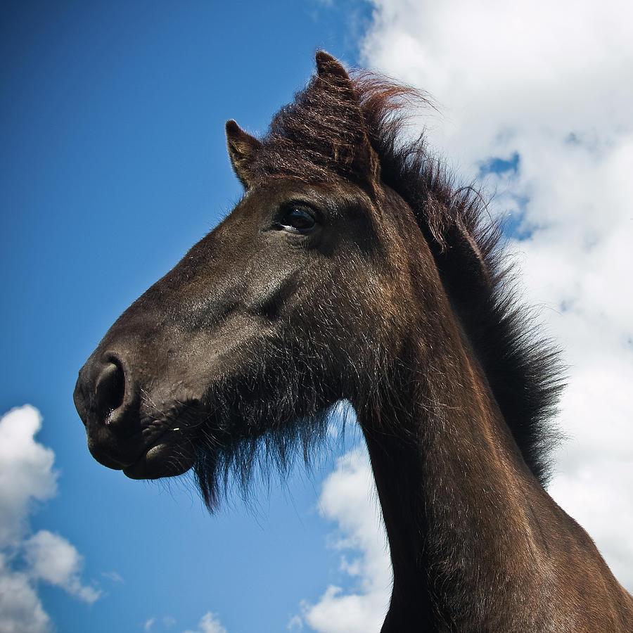 Typical Icelandic Horse Photograph by Kristjan Sigurjonsson