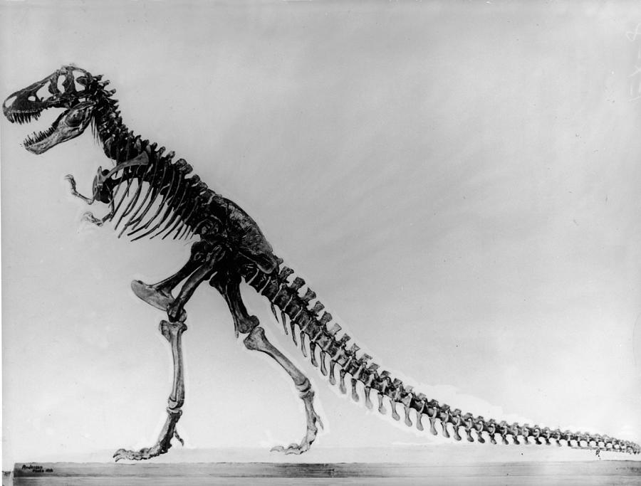 Tyranosaurus Skeleton Photograph by Hulton Archive