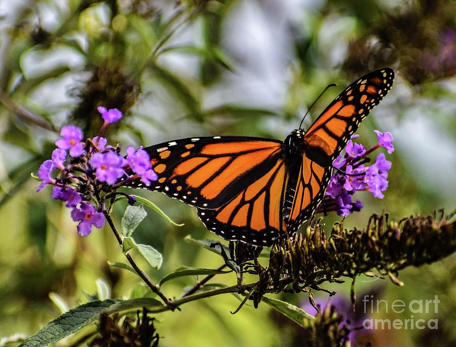 Unblemished Female Monarch by Cindy Treger