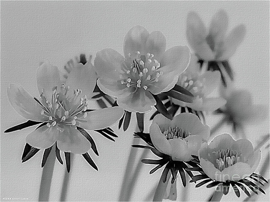 Uncolored Yellow Winter Aconites Photograph