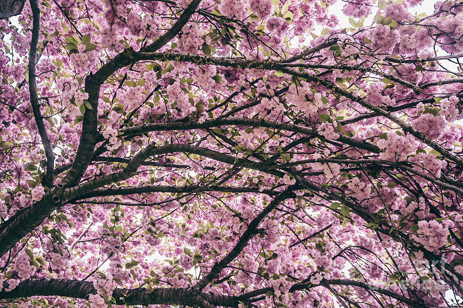 Under the Cherry Blossom Tree by Colleen Kammerer