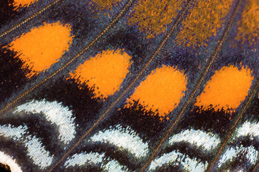 Under Wing Close-up Red Spotted Purple Photograph by Darrell Gulin