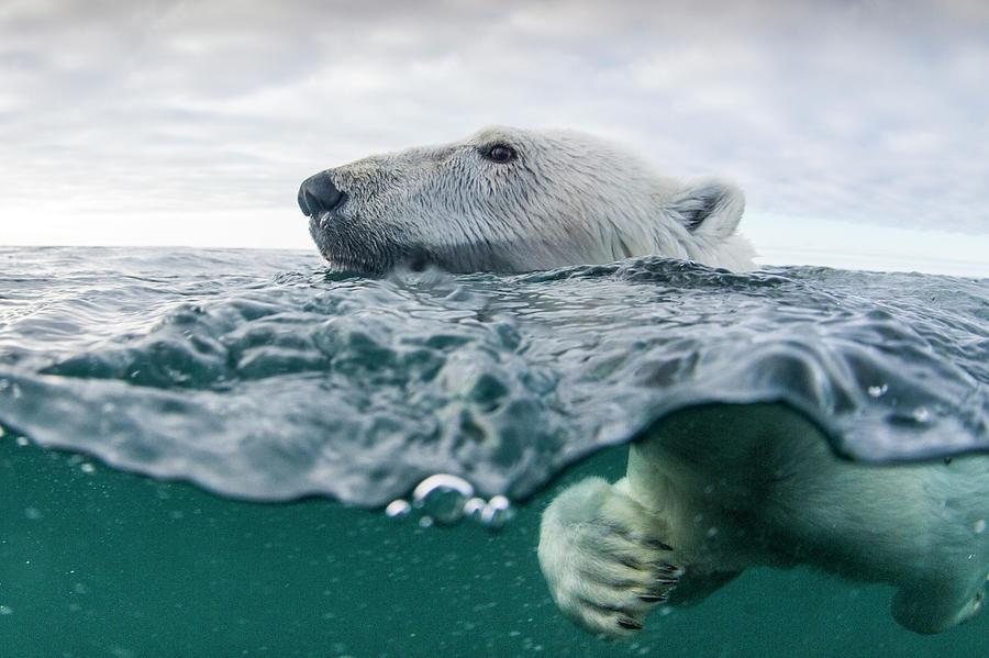 Underwater Polar Bear In Hudson Bay Photograph by Paul Souders