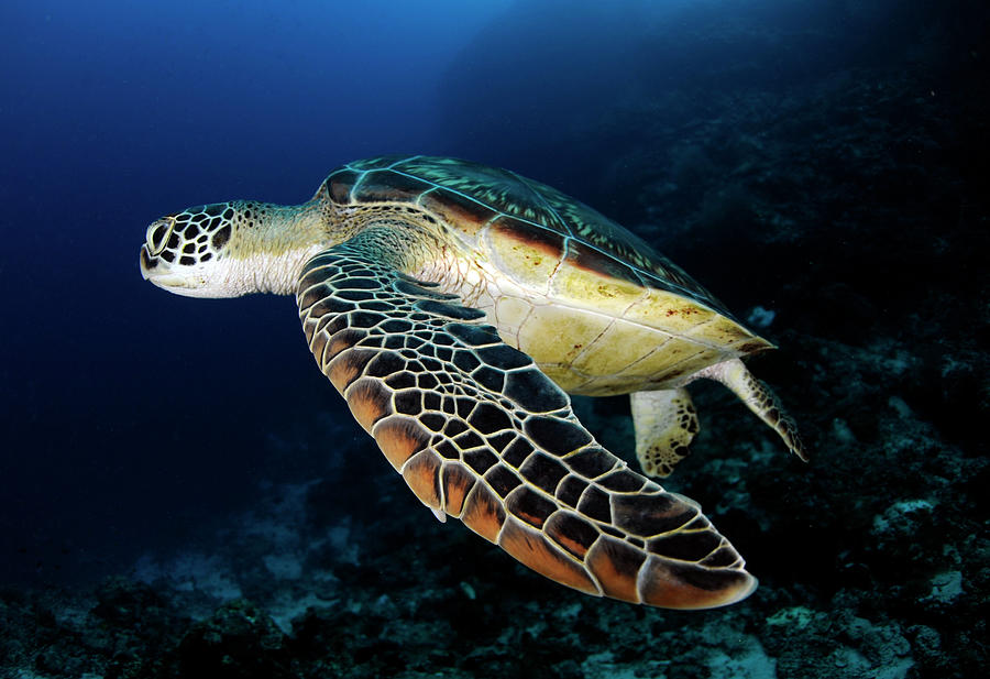 Underwater Turtle Swimming Photograph by Extreme-photographer