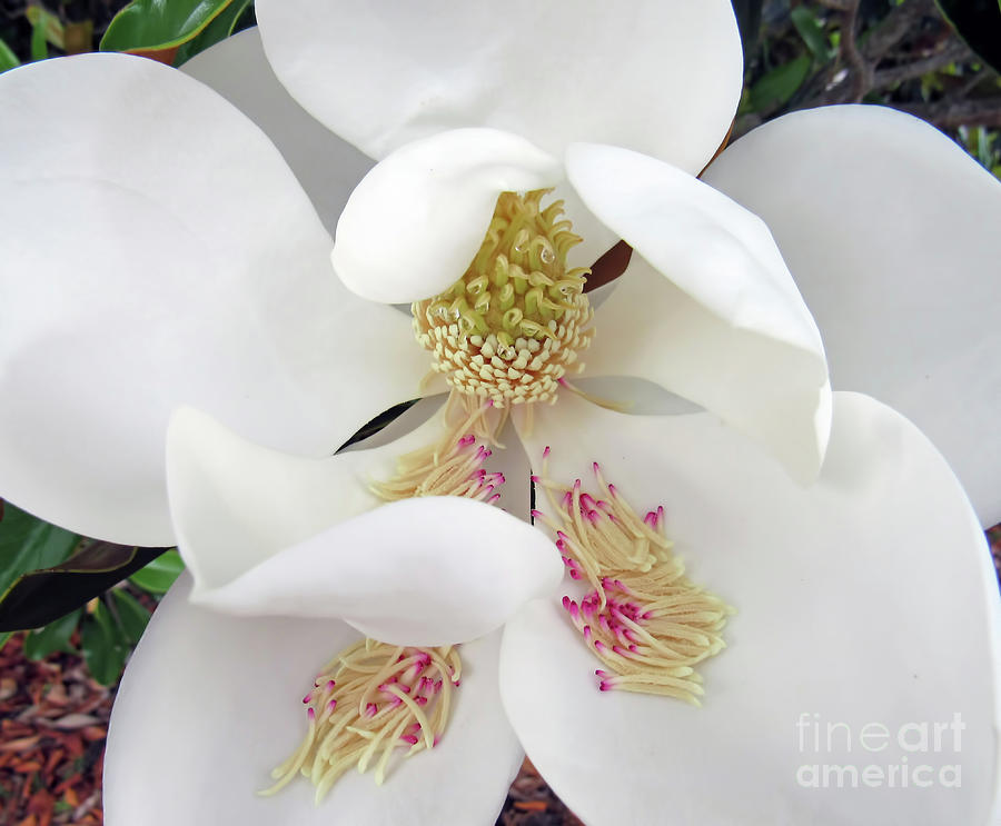 Unfolding Beauty of Magnolia by Roberta Byram