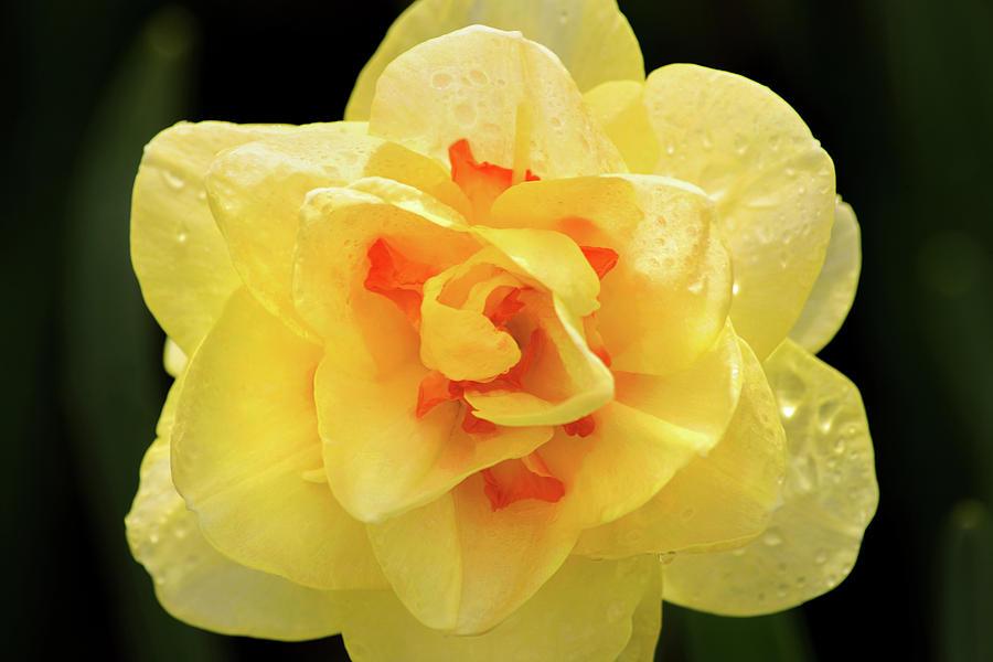 Unusual Daffodil by Don Johnson