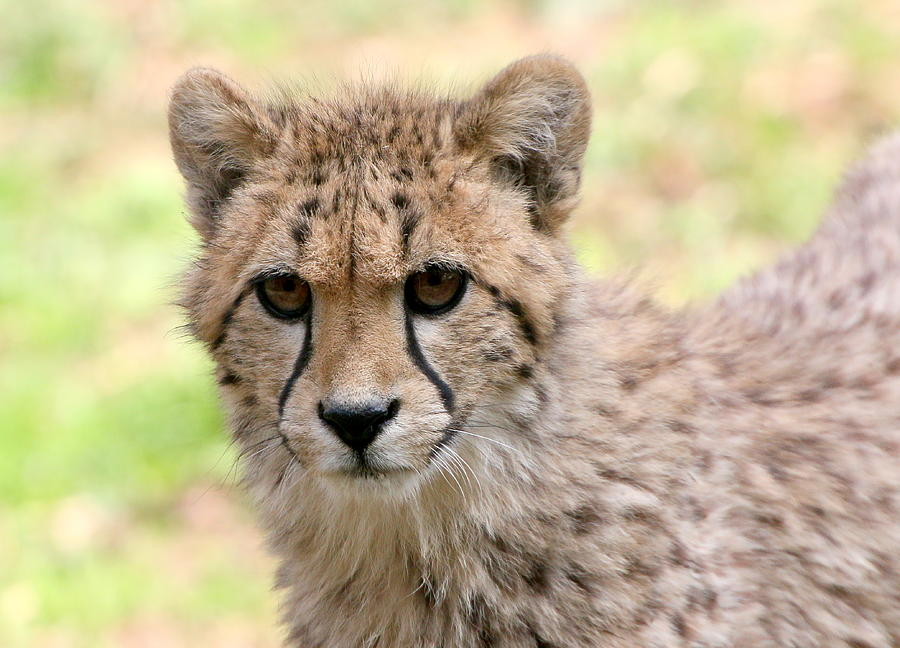 Unwavering Cheetah Youngster Photograph by Ger Bosma