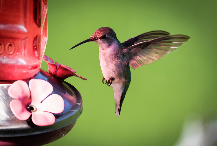 Up Close with the Ruby-throated Hummingbird by Ricky L Jones