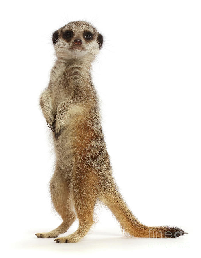 Upstanding Meerkat by Warren Photographic