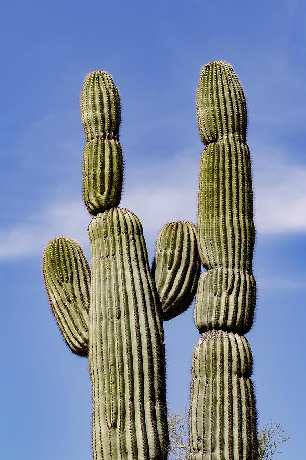 Adam Jones Photograph - Upward View Of Saguaro Cactus And Blue by Adam Jones