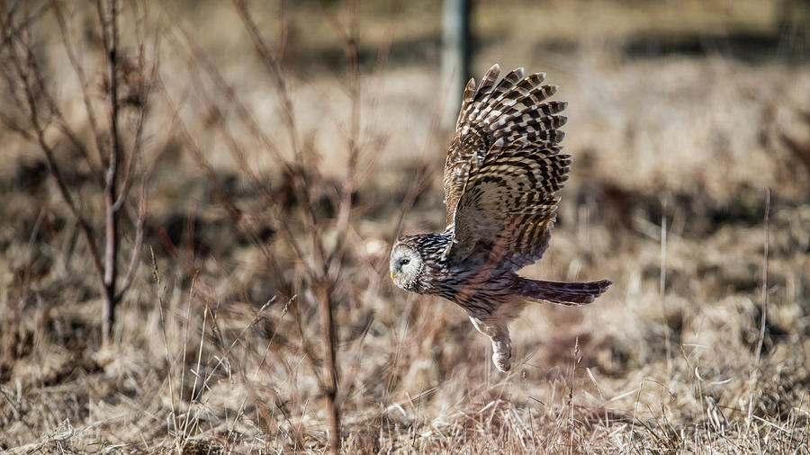 Ural Owl Flying Close To The Ground Photograph