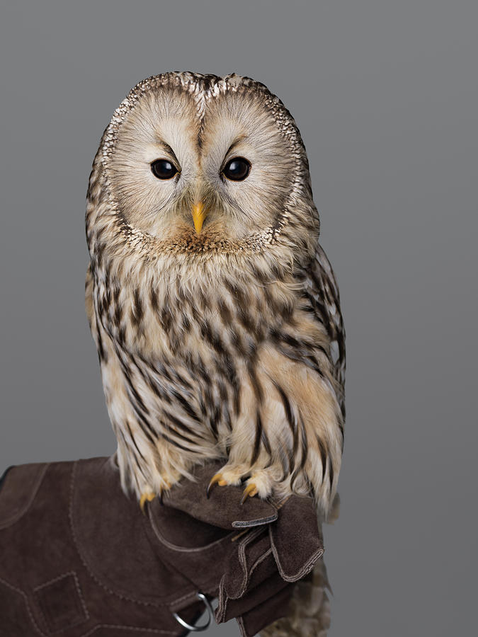 Ural Owl Perched On Falconers Glove Photograph by Nisian Hughes