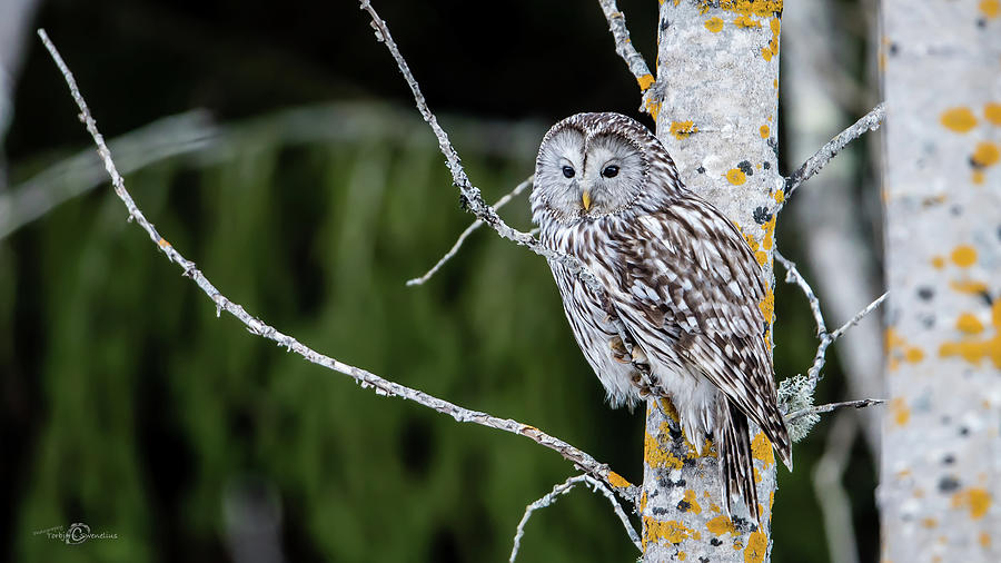 Ural Owl Perching On An Aspen Twig Photograph