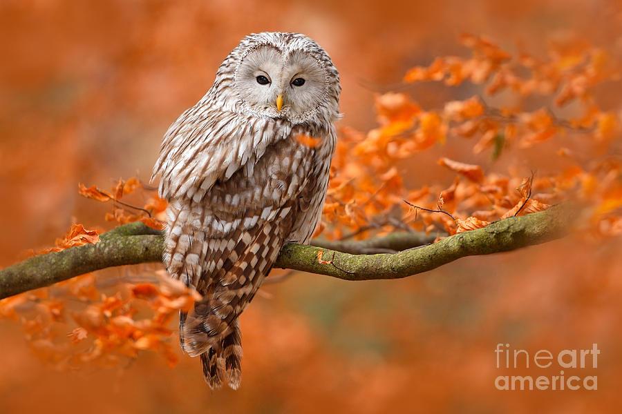 Small Photograph - Ural Owl Strix Uralensis Sitting by Ondrej Prosicky
