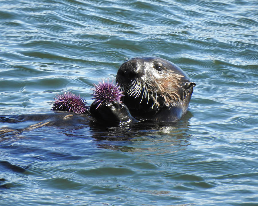 Urchins for Dinner by Anthony Murphy