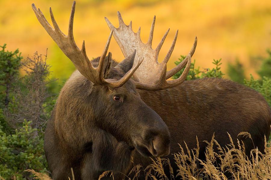 Usa, Alaska, Chugach State Park, Bull Photograph by Eastcott Momatiuk