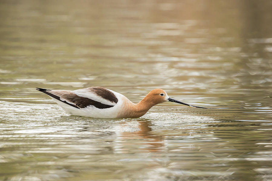 American Avocet Photograph - Usa, Colorado American Avocet Swimming by Jaynes Gallery