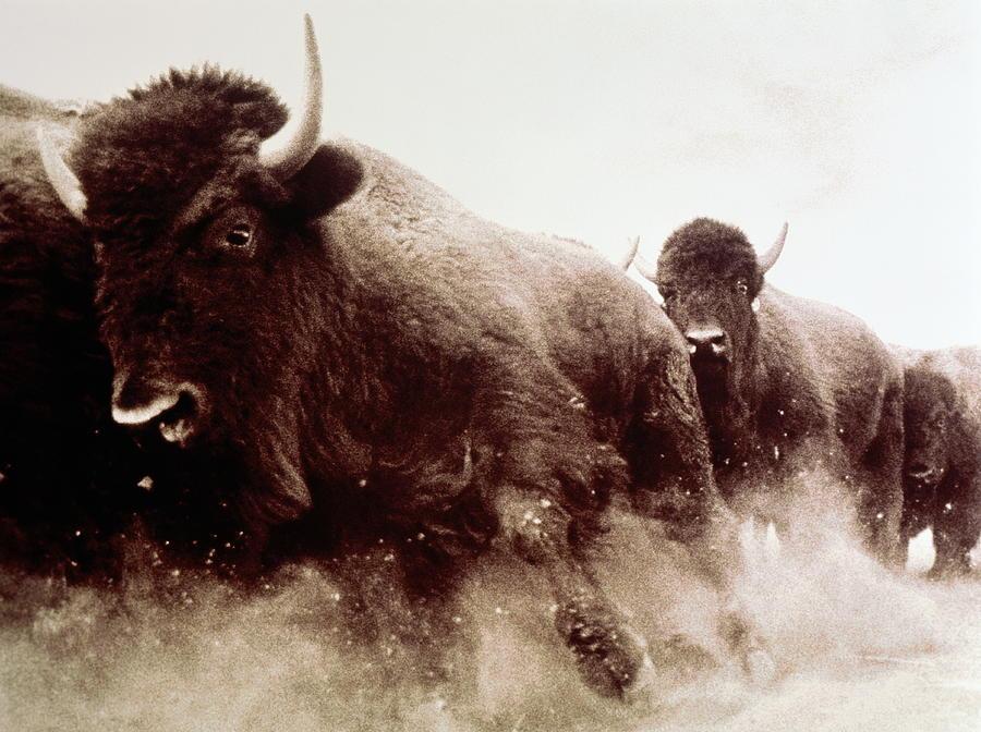 Usa, Colorado, Herd Of American Bison Photograph by James Balog