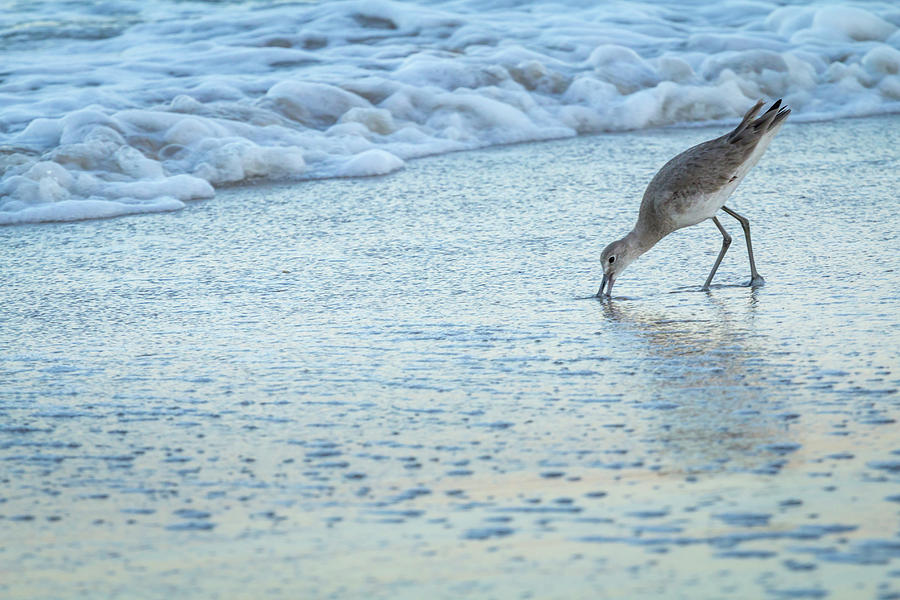 Animal Photograph - Usa, Florida A Willet Digs In The Sand by Margaret Gaines