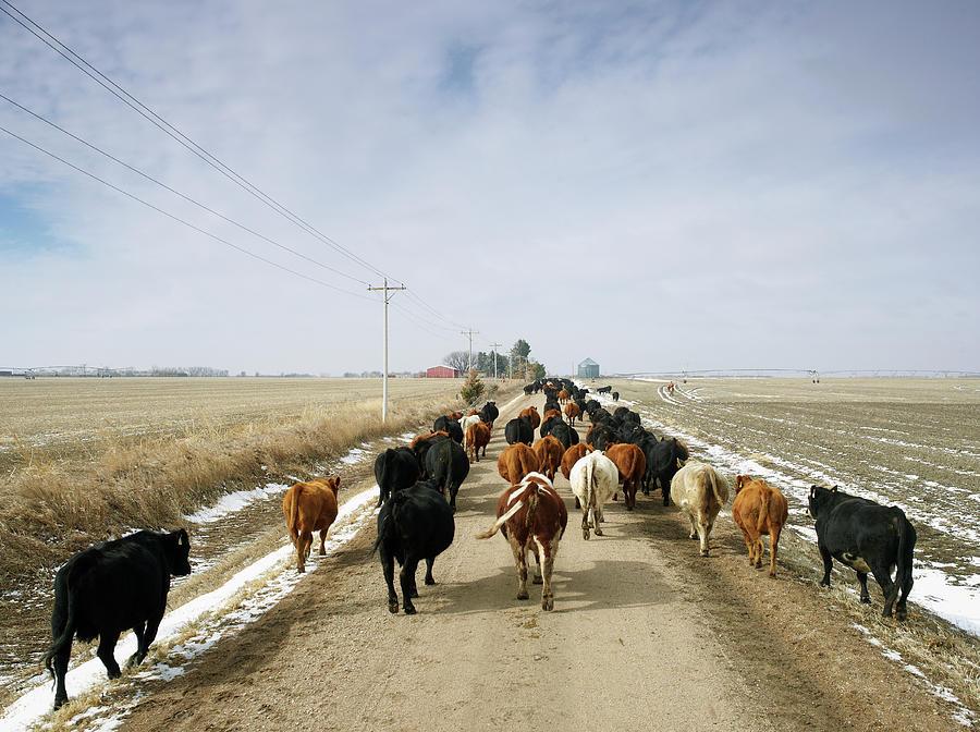 Usa, Nebraska, Great Plains, Herd Of Photograph by John Kelly