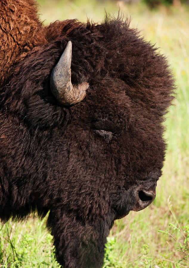Usa, South Dakota, American Bison Bison Photograph by Tetra Images