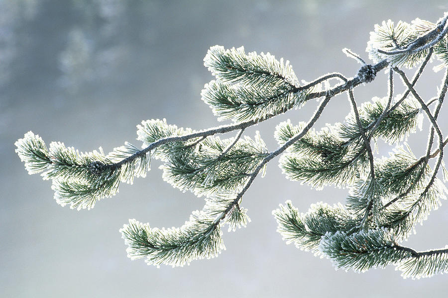 Usa, Wyoming, Frost Covered Evergreen Photograph by Art Wolfe