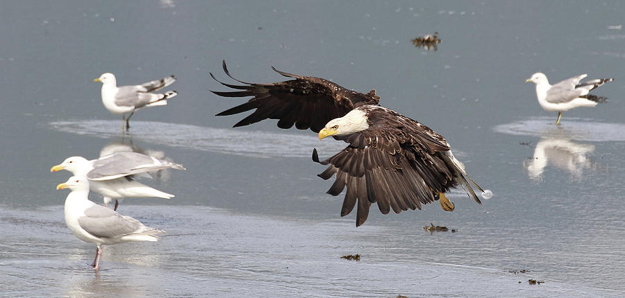 Eagle Photograph - Valdez Eagle One by Jean Clark