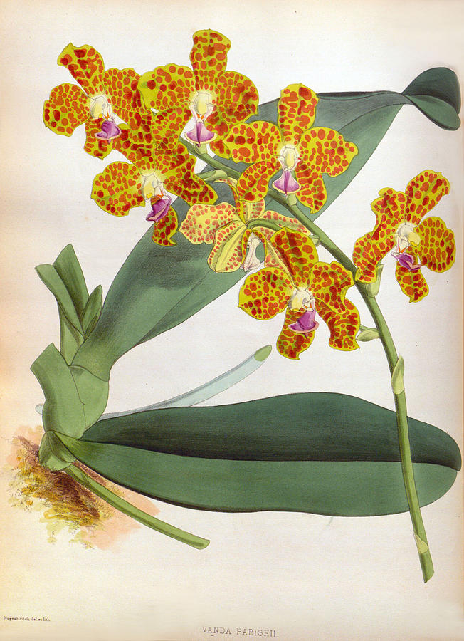Vanda Parishii Orange Speckled Lindenia Orchid by Jen Jules Linden