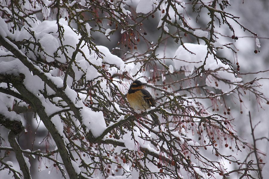 Varied Thrush by Jean Evans