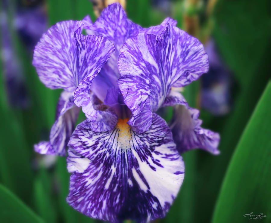 Variegated Violet Iris by Anna Louise