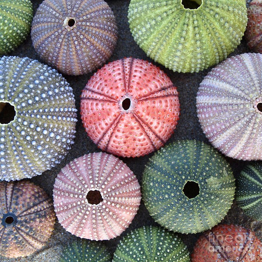 Sea Shells Photograph - Variety Of Colorful Sea Urchins On Wet by Dimitrios