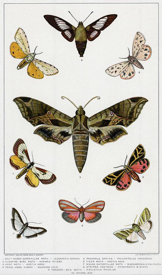 Various American Mothslithograph Photograph by Bettmann