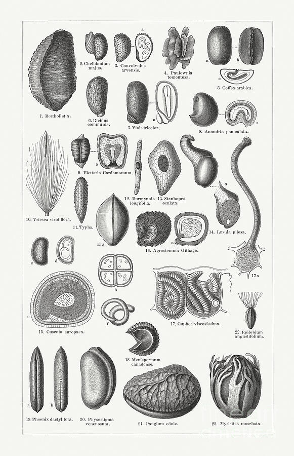 Various Forms Of Plant Seeds, Wood Digital Art by Zu 09