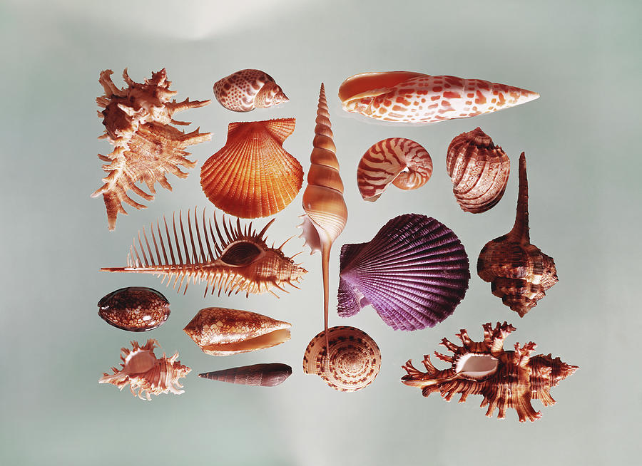 Various Sea Shells On Grey Background Photograph by Tom Kelley Archive
