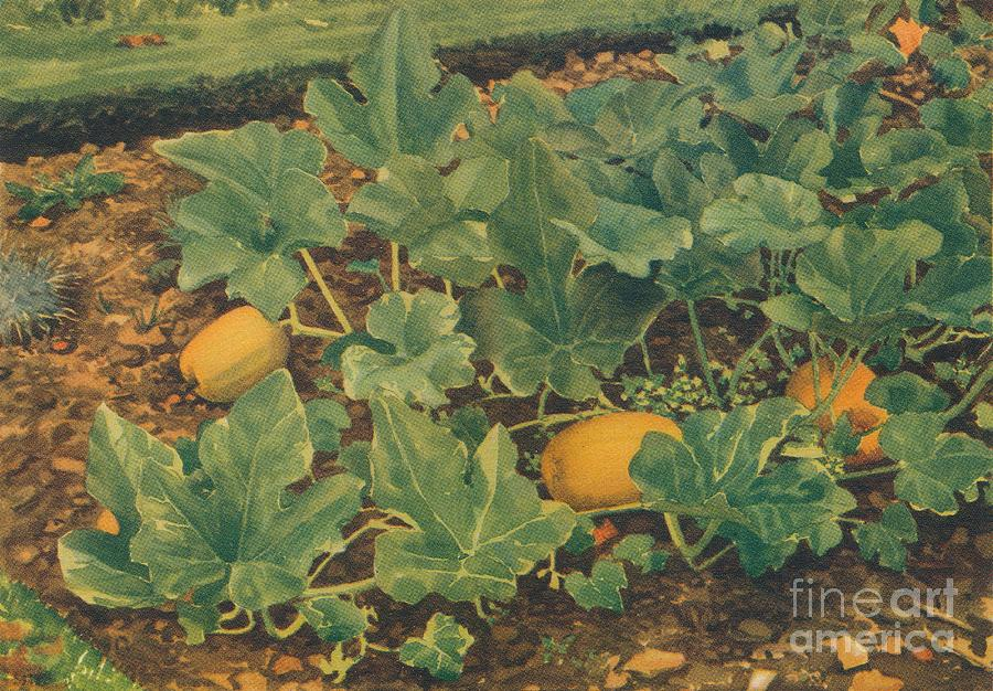 Vegetable Marrows Drawing by Print Collector