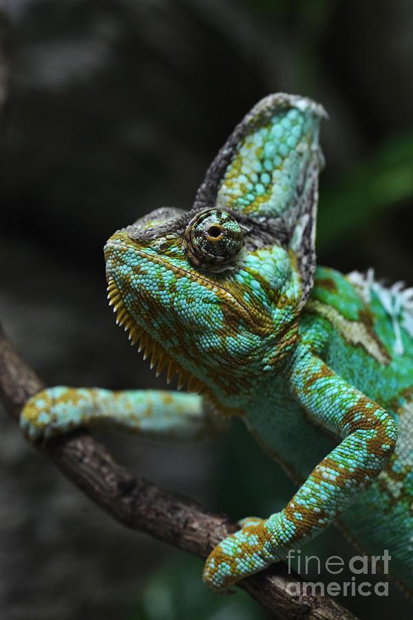 Calyptratus Photograph - Veiled Chameleon Chamaeleo Calyptratus by Vladimir Wrangel