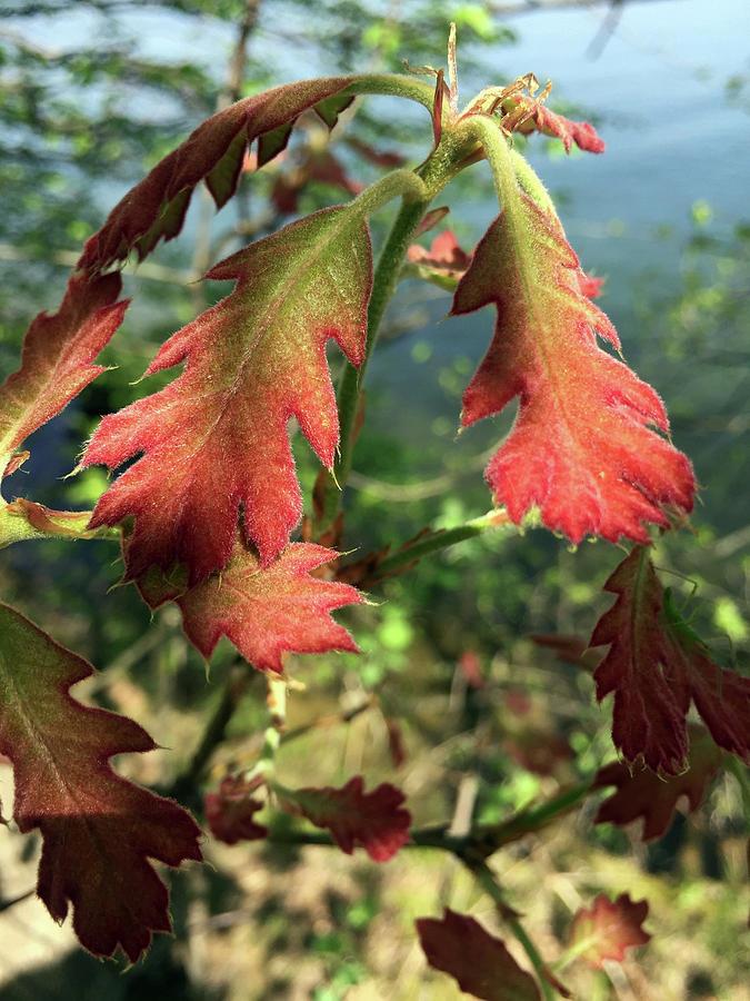 Velvet New Oak Leaves by Peg Toliver