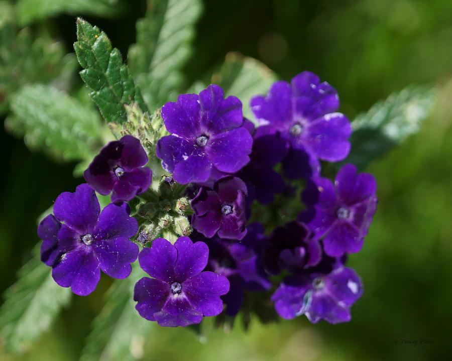 Verbena Purple by Tracey Vivar