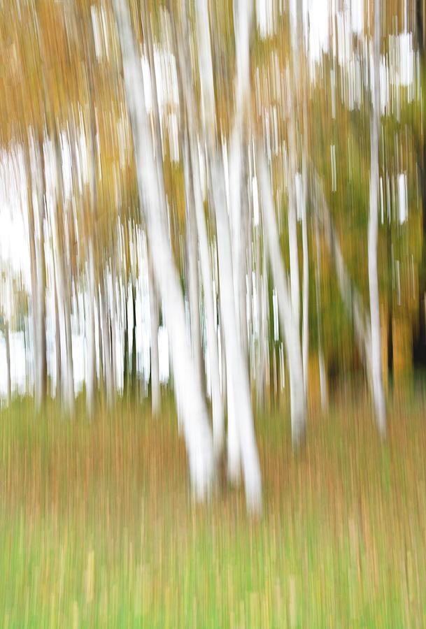 Vermont Fall Birches by Gordon Ripley