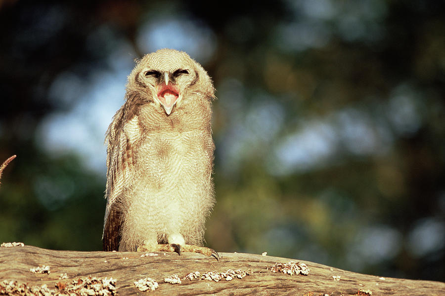 Verreauxs Eagle Owl Bubo Lacteus Photograph by James Warwick