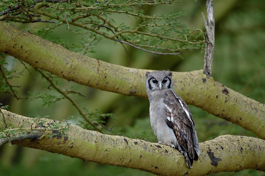 Verreauxs Eagle Owl Giant Eagle Owl Photograph by James Hager / Robertharding