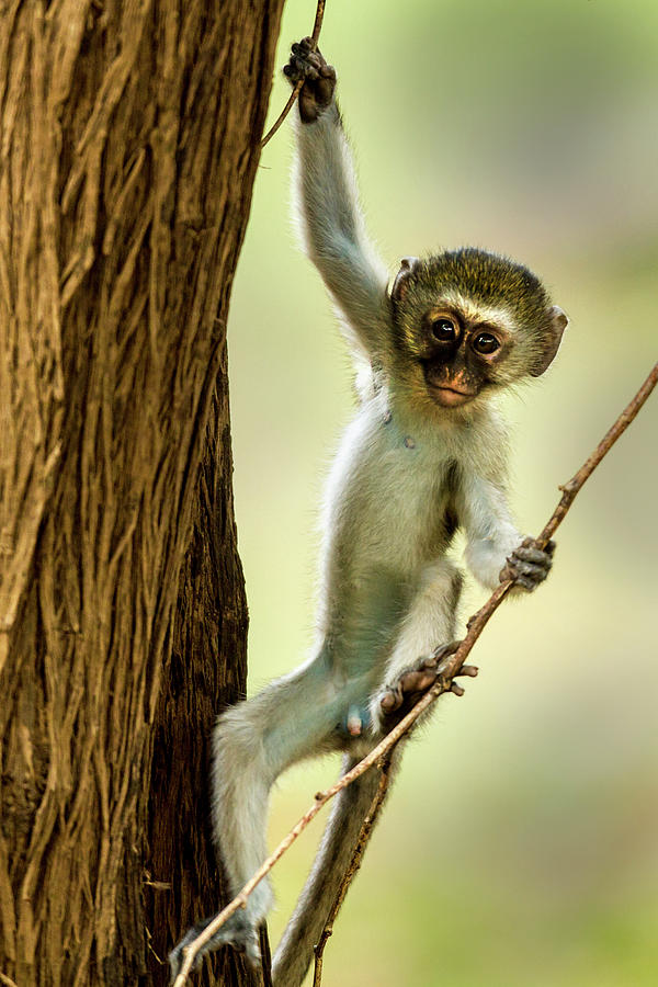 Vervet Monkey Youngster Photograph by Manoj Shah