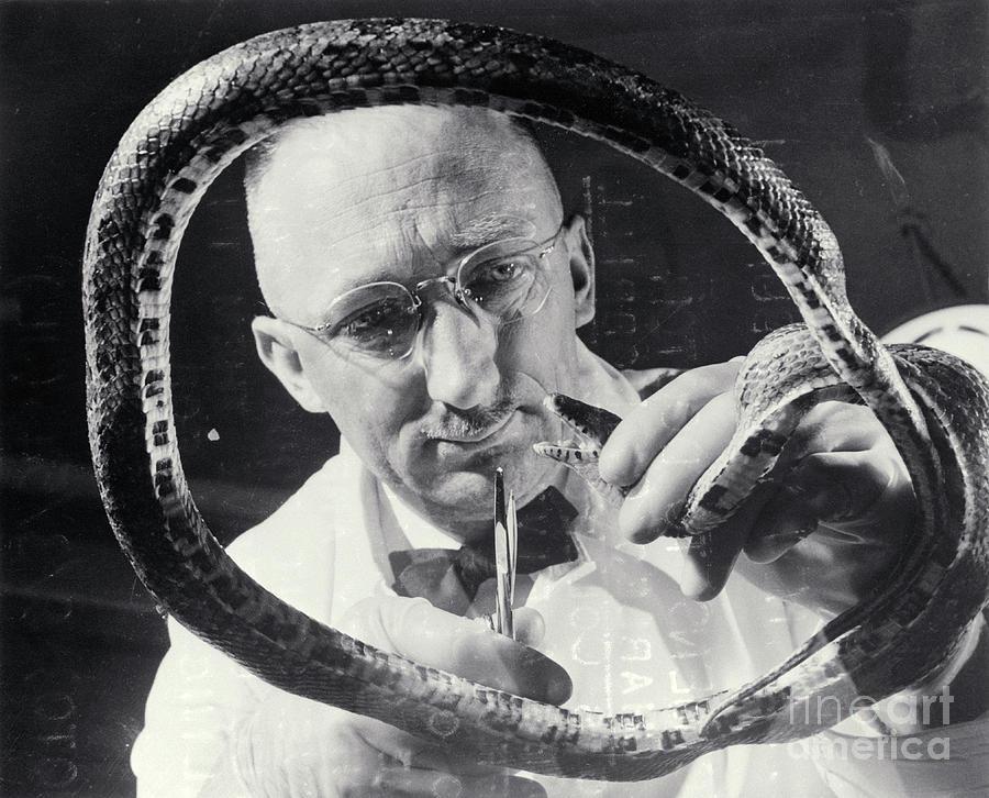 Veterinarian With Snake Photograph by Bettmann