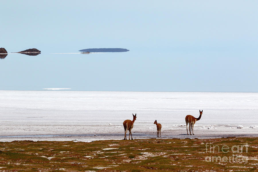 Vicuna family on Shore of the Salar de Uyuni Bolivia by James Brunker