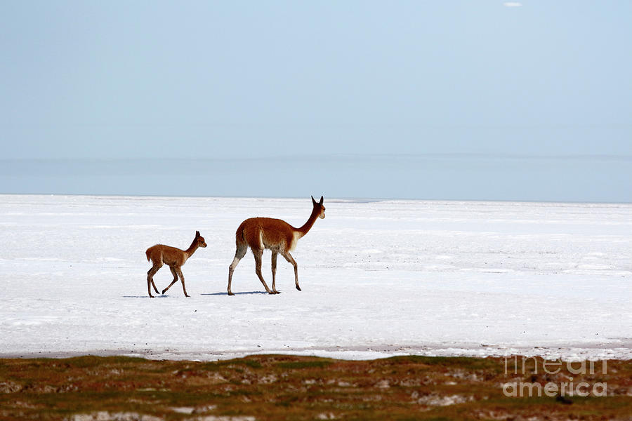 Vicunas on Shore of the Uyuni Salt Flats Bolivia by James Brunker