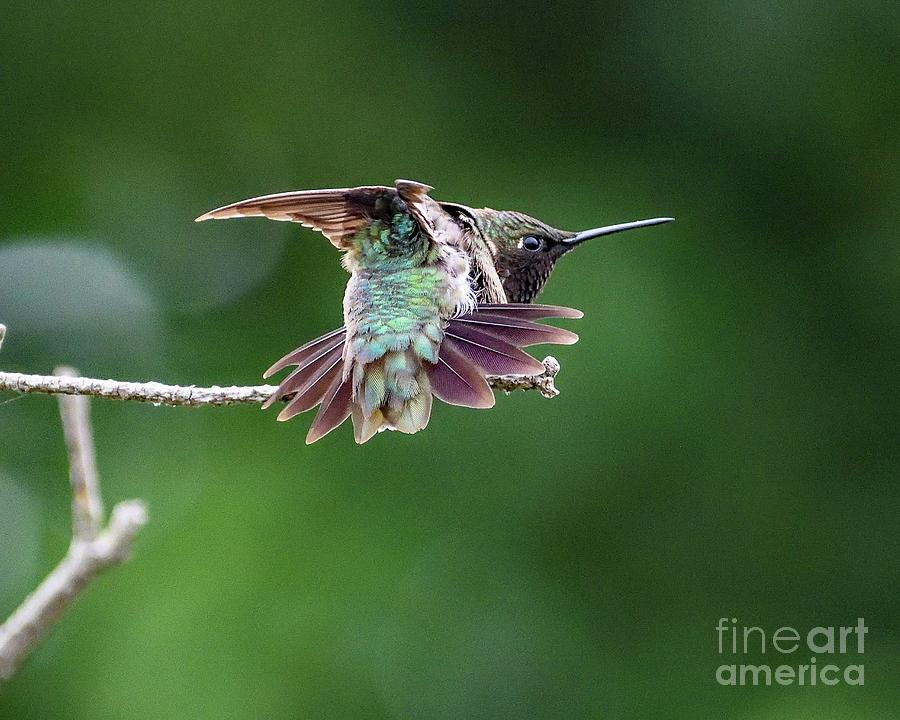 View From Behind Of Flexing Ruby-thraoted Hummingbird Photograph